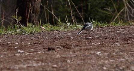 Aufgeplustertes Vögelchen im Stolby Nationalpark