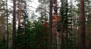 Dichtes Laub im Stolby Nationalpark