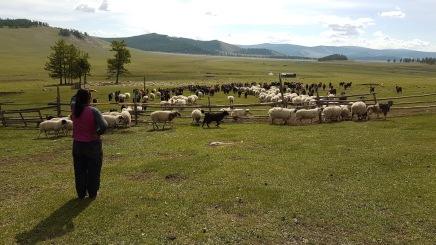 Täglich werden die Schafe auf die Weide gelassen