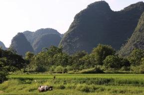 Ein Büffel vor dem Bergen am Yulong-River