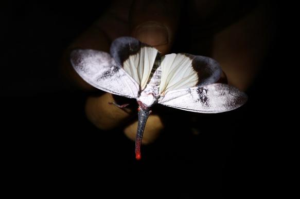 Sieht aus wie ein Schmetterling, hat aber einen Rüssel wie ein Elefant .. ist es ein Schmetterfant?