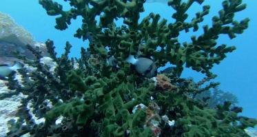 Fische beim Tauchen bei Pulau Weh