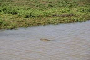 Noch ein Krokodil!